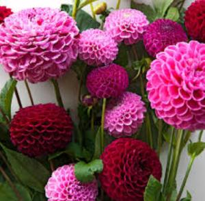 Dahlia flowers for summer weddings Kim Starr Wise