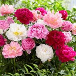 Kim Starr wise Peony summer wedding flowers
